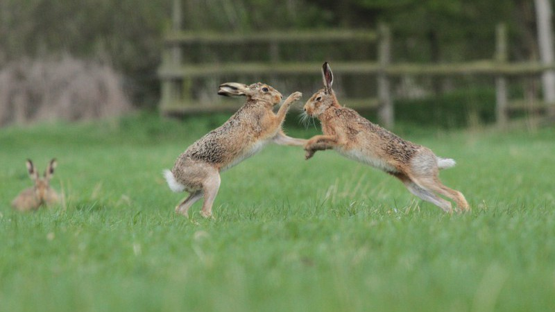 Boxing hares at Elms Farm Costock