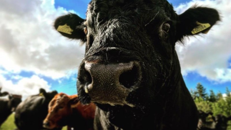 Ace the Bull at Elms Farm Costock