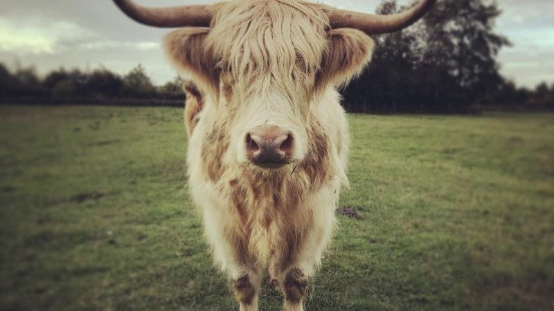 Highland cow face on white