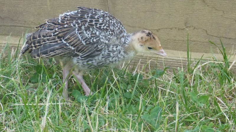 Pheasant chick at Elms Farm Costock